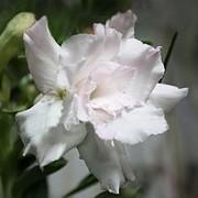 Адениум или Пустынная роза