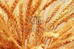 продам семена озимых-рапса, ячменя, пшеницы
