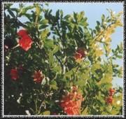 Саженци плодовых деревьев