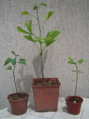 Гинкго Билоба двулопастный саженцы сеянцы семена