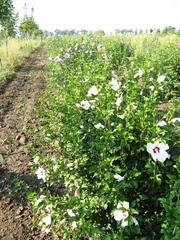 гибискус сирийский: кустовой,  штамб,  гибискус гибридный (травянистый)