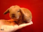 Декоративные вислоухие крольчата
