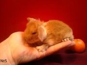 ***Декоративные вислоухие крольчата***