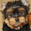 Продаються изумительные щенки Йоркширского терьера