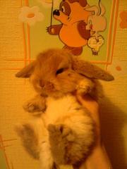 декоративный вислоухий крольчонок