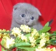 Кошечка шотландской скоттиш-фолд породы.