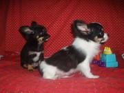 чихуахуа девочка и мальчик