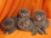 Шотландские вислоухие котята (Скоттиш фолд)