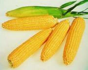 Элитные семена кукурузы
