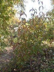 Кизил садовый куст