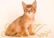 Продается котенок Чаузи
