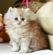Чудесные персидские котята.