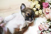 продам  щенка породы мини чихуахуа.  1, 5 мес