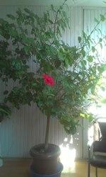 Продаю срочно гибискус (китайскую розу),  2 метра высота