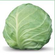 Семена белокочанной капусты AKIRA F1 / АКИРА F1 фирмы Китано