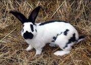 Кролики-Строкачи (Немецкий Пестрый Великан)