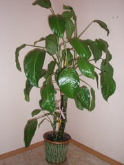 Диффенбахия,  Крассула (толстянка / денежное дерево)