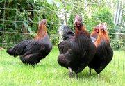 Продам цыплят маранов