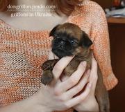 Маленькие собачки – гриффоны в продаже!