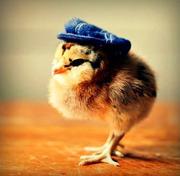 цыплята= зерно
