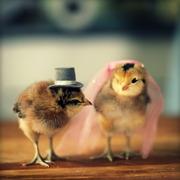 продам/ обменяю суточных цыплят