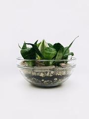 Флорариум Сенсевиерии- Подарок женщине