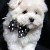 Мальтезе маленькие белоснежные собачки
