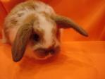 карликовые кролики - малыши вислоухие