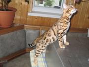 Бенгальские  котята..........