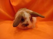 карликовый кролик - девочка